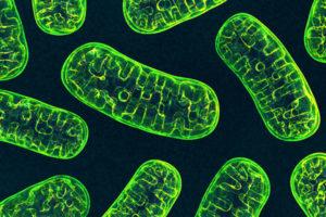 α-リポ酸は細胞中のミトコンドリアを活性化します